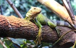 A big green iguana on tree branch. Royalty Free Stock Photos