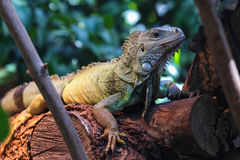 A big green iguana on tree branch. Stock Image