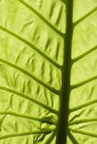 Big Green Leaf Stock Images