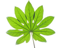 Big green leaf Royalty Free Stock Photography