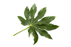 Big green leaf Stock Photos