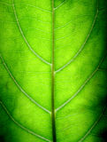 Big Green Leaf Stock Photography