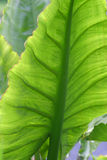 Big Green Leaf. Photo of a large green leaf Royalty Free Stock Photo