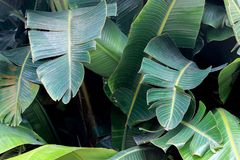 Big green leaves on banana tree. Big green leaf on banana tree stock photography