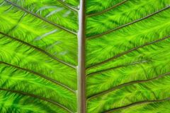 Big green leaf Royalty Free Stock Photos