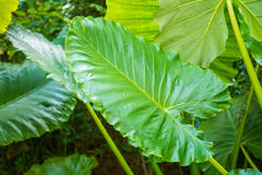 Big green leaf in forest Stock Photos