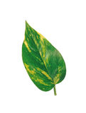 Big green leaf isolated on white Stock Images
