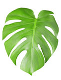 Big green leaf of Monstera Stock Image