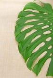 Big green leaf Royalty Free Stock Image