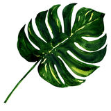 Big green leaf of Monstera plant, isolated on Royalty Free Stock Photography