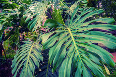 Big green leaf of Monstera plant royalty free stock images