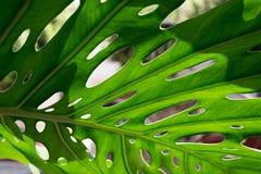 Big green leaf of Monstera plant Stock Image
