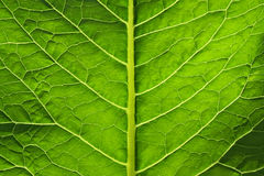 Big green leaf of a plant Stock Images