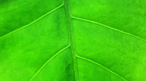 Big green leaf of a plant Royalty Free Stock Photo
