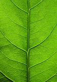 Big green leaf of a plant Stock Image