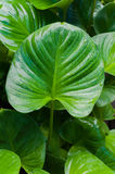 Big green leaf of a plant Eucharis with texture Royalty Free Stock Photo