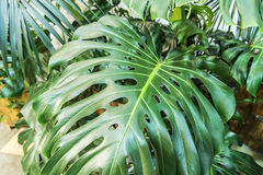 A big green leaf. RnA large green leaf in a pot Stock Image