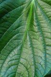 Big green leaf. Texture of a big green leaf Royalty Free Stock Photo
