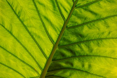 Big green leaf texture horisontal Stock Photography
