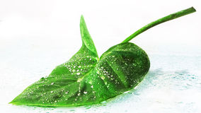 Big green leaf. With water droplets Closeup Royalty Free Stock Photo