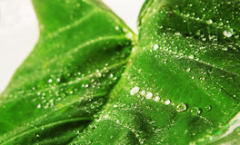 Big green leaf. With water droplets Closeup Royalty Free Stock Image