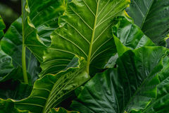 Big green Leaves Araceae. Abstract background of big green Leaves Araceae Stock Photography