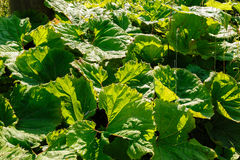Big green leaves of burdock Stock Photo