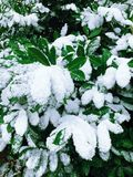 Big green leaves covered with snow stock image