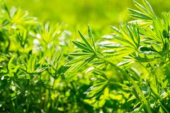 Big green leaves of lupinus Royalty Free Stock Photo