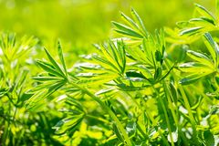 Big green leaves of lupinus Royalty Free Stock Images