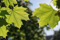Big green leaves of a maple closeup Royalty Free Stock Photography