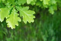 Big green leaves of an oak against a grass Royalty Free Stock Photo