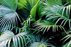 Big green leaves of palm tree Stock Images