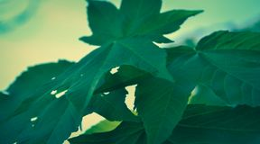 Big green leaves. Green big leaves on a sunny spring day Royalty Free Stock Photography