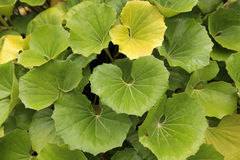 Big green leaves Stock Photography
