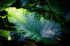 Big green leaves stock image