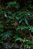 Wild banana trees in forest. Big green leaves of wild banana trees in tropical dark forest Stock Photography