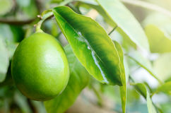 Big Green lemon on a branch of tree in garden Stock Photos