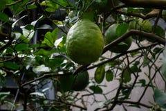Big green lemon. Growing on the tree Stock Photos