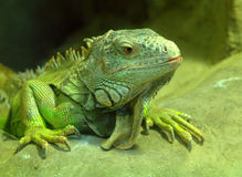 Big green lizard Royalty Free Stock Photos