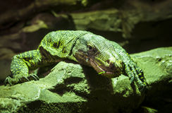 The big green lizard Royalty Free Stock Images