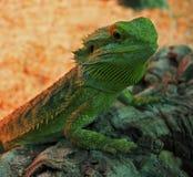 Big green lizard at rock Royalty Free Stock Photography