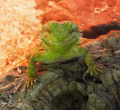 Big green lizard at the rock at red background looking at th Royalty Free Stock Images