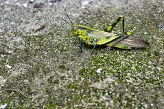 Big green locust royalty free stock photos