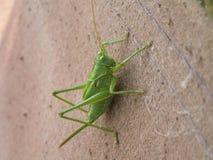 Big green locust. On fabric photo Royalty Free Stock Photos