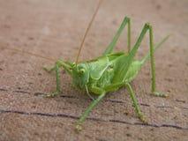 Macro image of big green locust. Big green locust on fabric photo Stock Photo