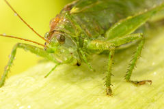 Big green locust on leaf Stock Images