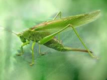 Big green locust taken closeup. Royalty Free Stock Photo