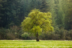 Big green lonely tree on the field Royalty Free Stock Photos