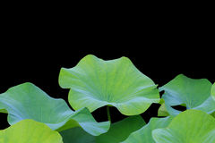 Free Big Green Lotus Leaf Isolated On White. Saved With Clipping Path Royalty Free Stock Photography - 75198607